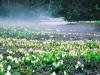 野々海高原の水芭蕉について